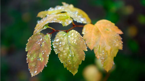 leaves and water drops 1366x768.jpg