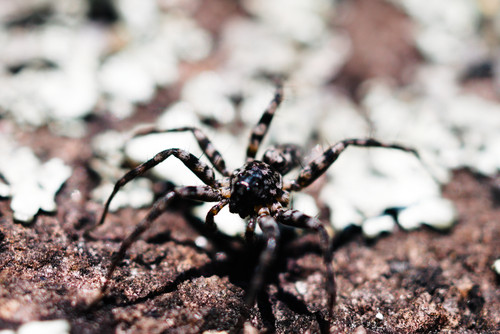Stone spider Pardosa Lapidicina