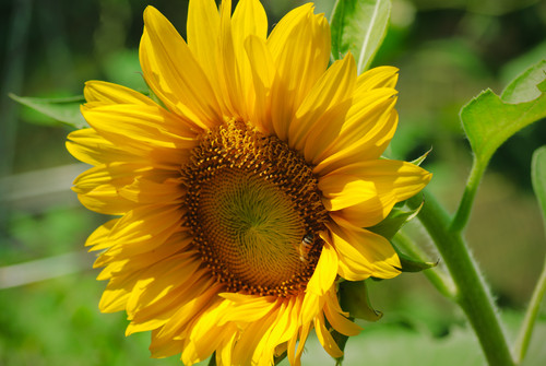 A 70 210 Sunflower and Bee.jpg